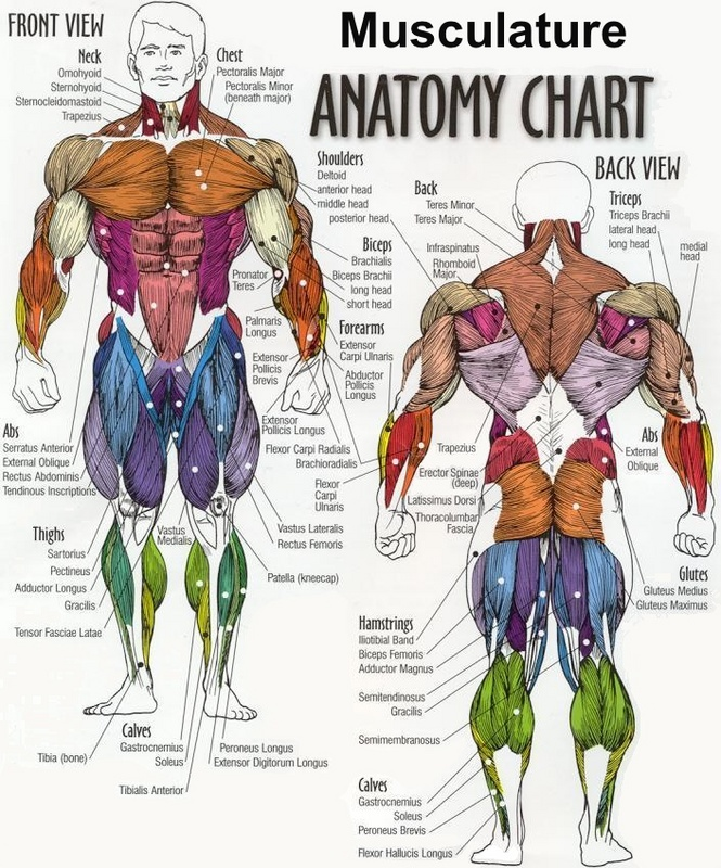 muscle anatomy chart, Human body