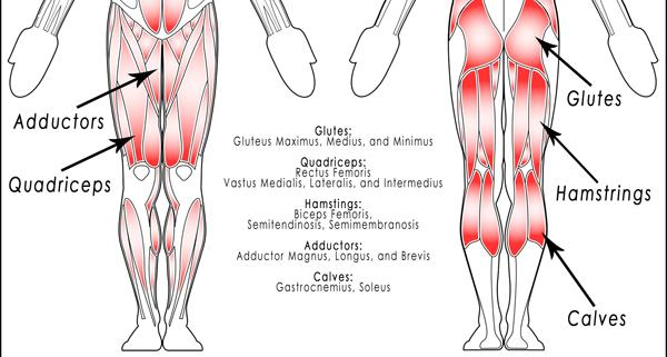 Many muscles are at work in a proper squat: Quadriceps, hamstrings ...